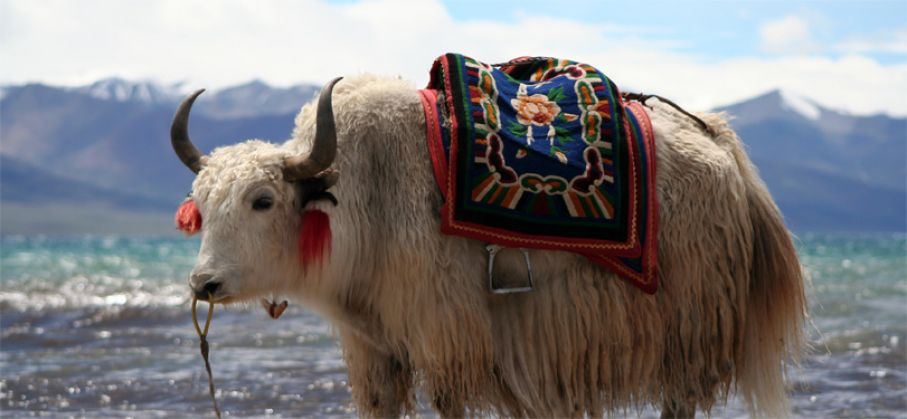 A yak at Nam-tso Lake, Tibet